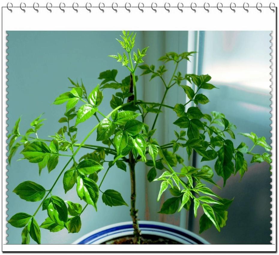 天刚开始暖和幸福树就开始往外冒芽了,看看现在又是枝繁叶茂幸福满满