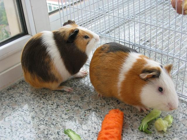 可是吃草吃菜,胆子很小象兔子.卖的人说是荷兰猪,老公说是老鼠兔.