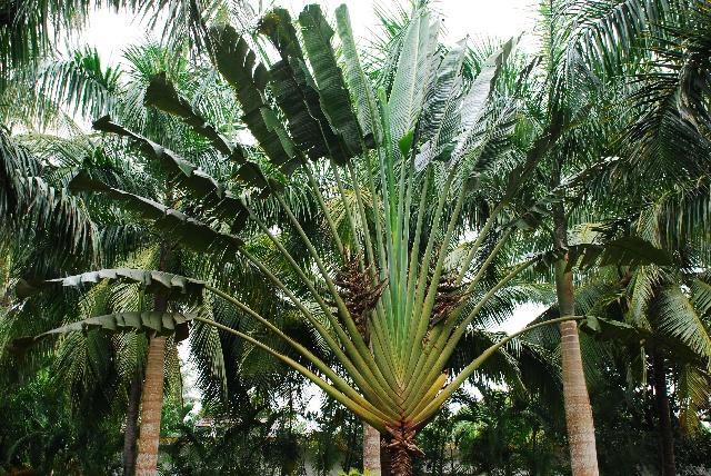 它还有另外一个名字叫光棍树,真贴切啊!这种树是濒危珍稀植物!
