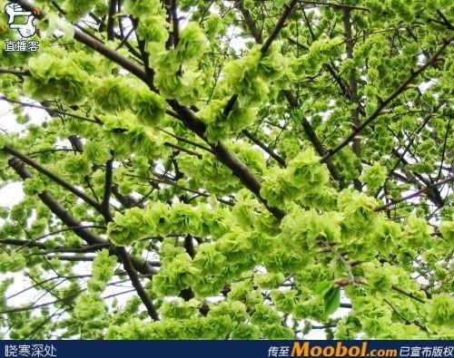 榆钱树成熟果实图片