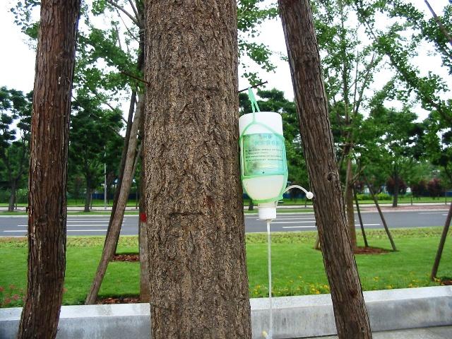 """给树打吊针 今早上班从鸟巢旁边的大道路过,偶然发现了一奇怪现象.只见路边有几棵树上挂着瓶子,很好奇我就走过去看了看.哈哈!原来是在给树打吊针呢.人生病了有时需要打吊针这很正常,可给树打吊针我还是第一次看到.我仔细的看了看那瓶子上的字""""树木营养液"""",我似乎明白了一些."""