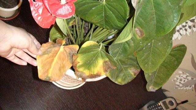 红掌的花打蔫怎么办 红掌图片