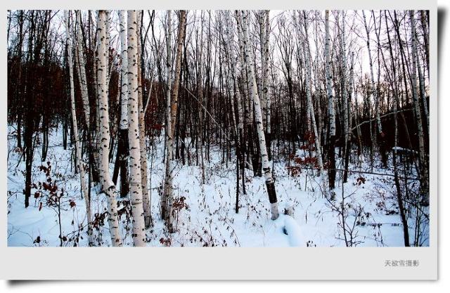 家乡的白桦林 图.文/天欲雪 我的家乡地处东北三江平原和完达山脉的交接地带,这里有很多树,柳树、榆树、椴树、黄菠萝,还有红松和山槐树。但我最喜欢的还是原野上那一望无际的白桦树。 大自然赐予白桦林一种精神和灵气,白桦林的边缘草肥水美、雾气沼沼。晨光熹微中,在半山村子中飘逸的流乳般紫色的氤氲悄然散去。