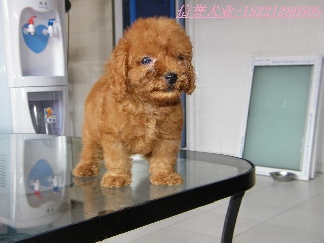 韩国来的贵宾犬-泰迪熊在上海也能看到哦0/?