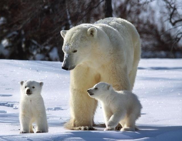 富豪五十万可猎杀北极熊