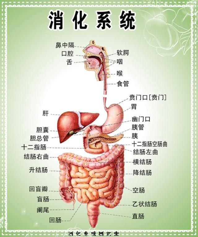 女人体全身器官�_人体的组成