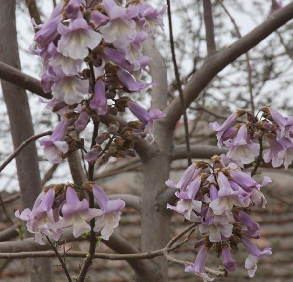 家乡的梧桐花:梧桐树上落凤凰.梧桐花开遍地香
