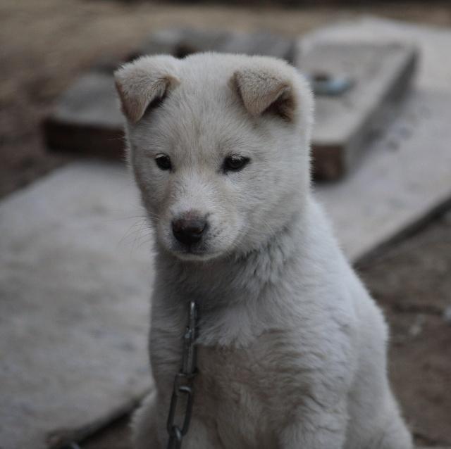 毛茸茸的小狗,忧郁的表情,不协调的大铁链,构成一幅让人怜爱的画面.