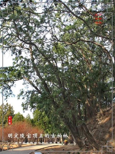 柏果树叶子的图片