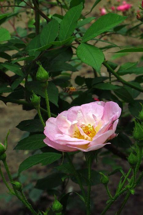 北京植物园每年5月中旬举办月季花节.